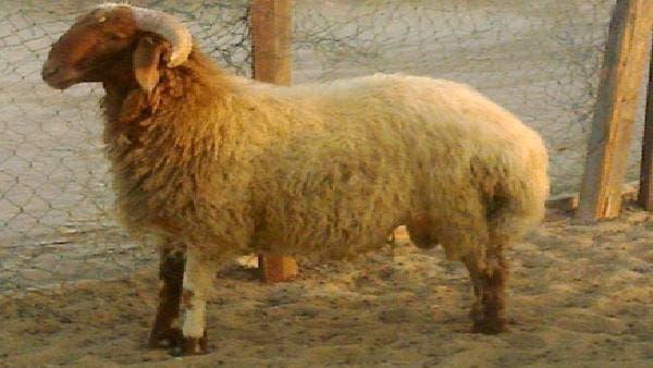 كويتي يبيع خروفاً بمليون ريال