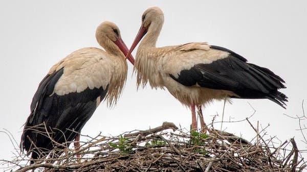 طائر لقلق يقطع المسافات ليلاقي حبيبته المشلولة