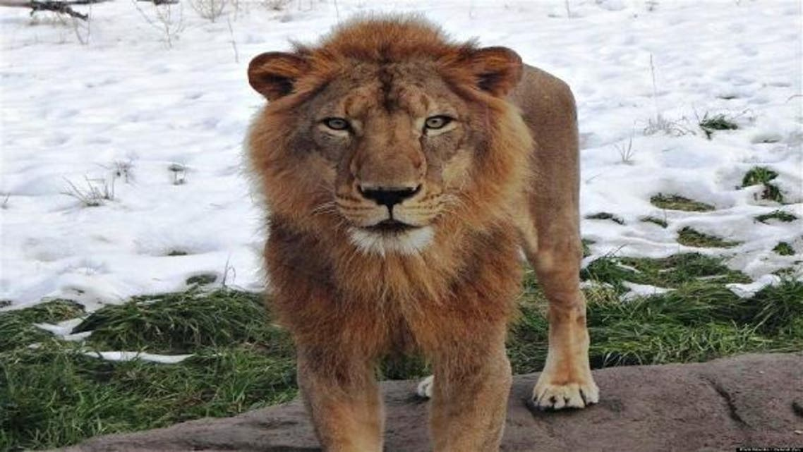 Simba will live with the Detroit Zoo's other lions in the remodeled 7,500-square-foot habitat. (Courtesy: Detroit Zoo)