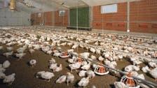 مصر تكشف حقيقة ظهور بؤر لإنفلونزا الطيور في المحافظات