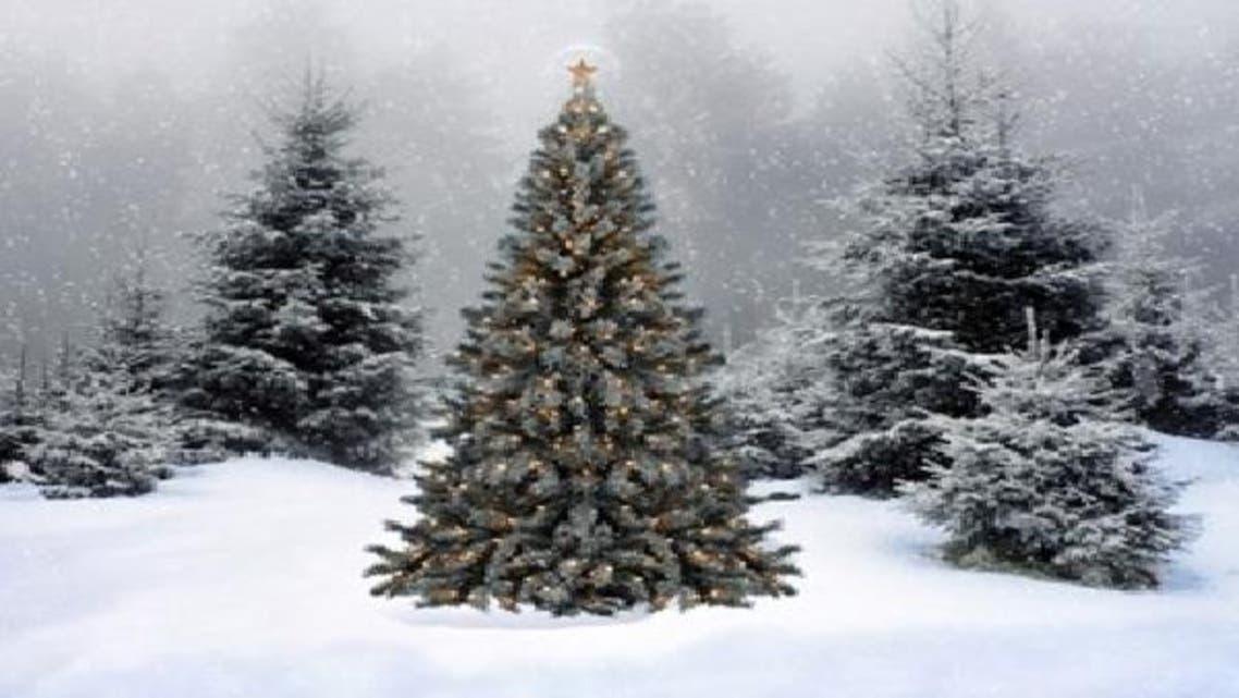 شجرة لكريسماس لم تتغير منذ عصر الديناصورات