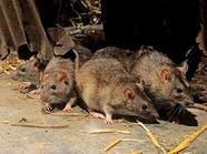 الفئران استفادت من البشر لغزو العالم