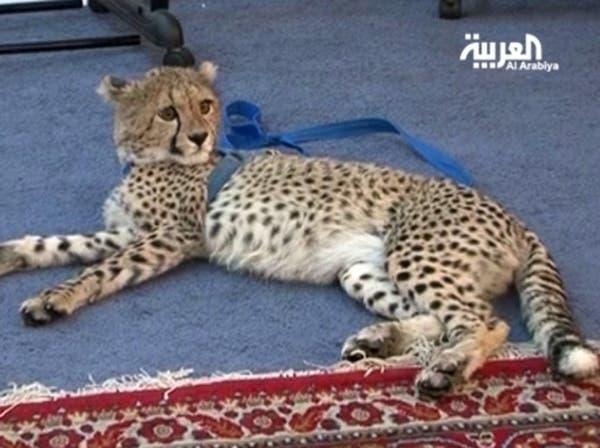 أفاعي وفهود بدلاً من الحيوانات الأليفة في المنازل الكويتية