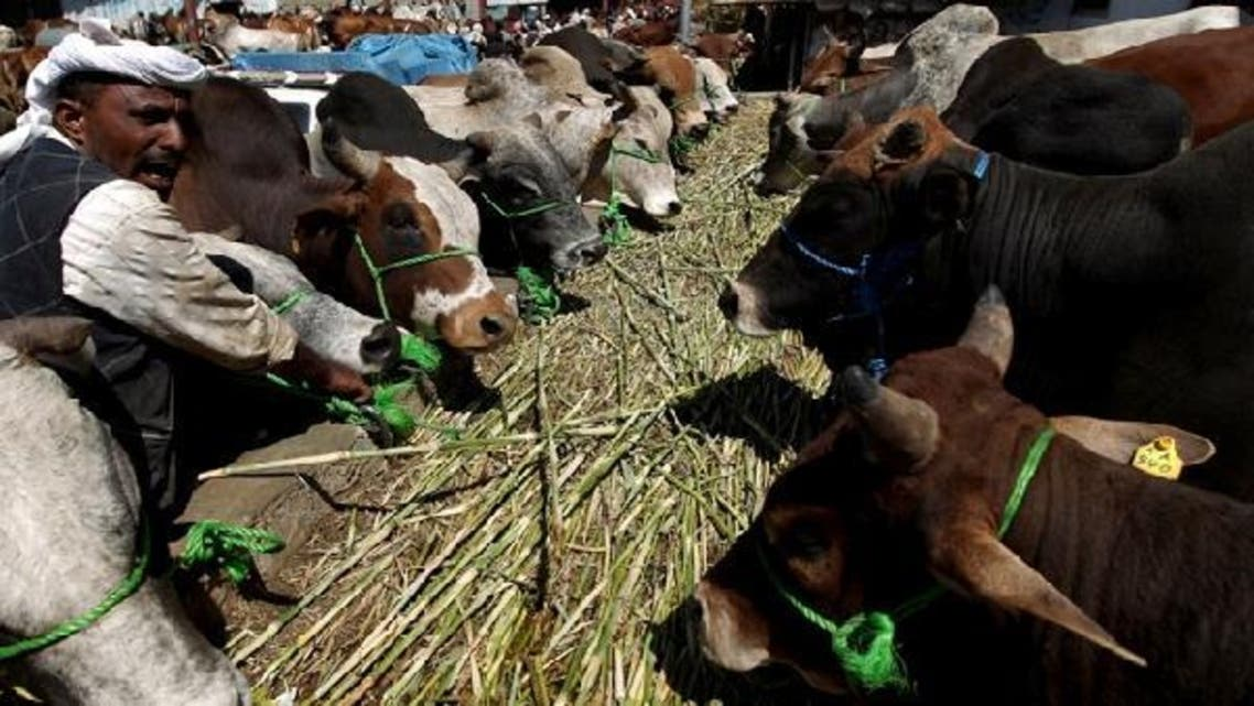 A Yemeni man feeds tethered cows at an animal market in the capital Sana'a on Oct. 23, 2012, ahead of the Muslim feast of Eid al-Adha. (AFP)