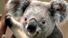 Australian researchers to test koala 'facial recognition'
