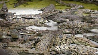 شرطة جنوب إفريقيا تطارد 10 آلاف تمساح هارب