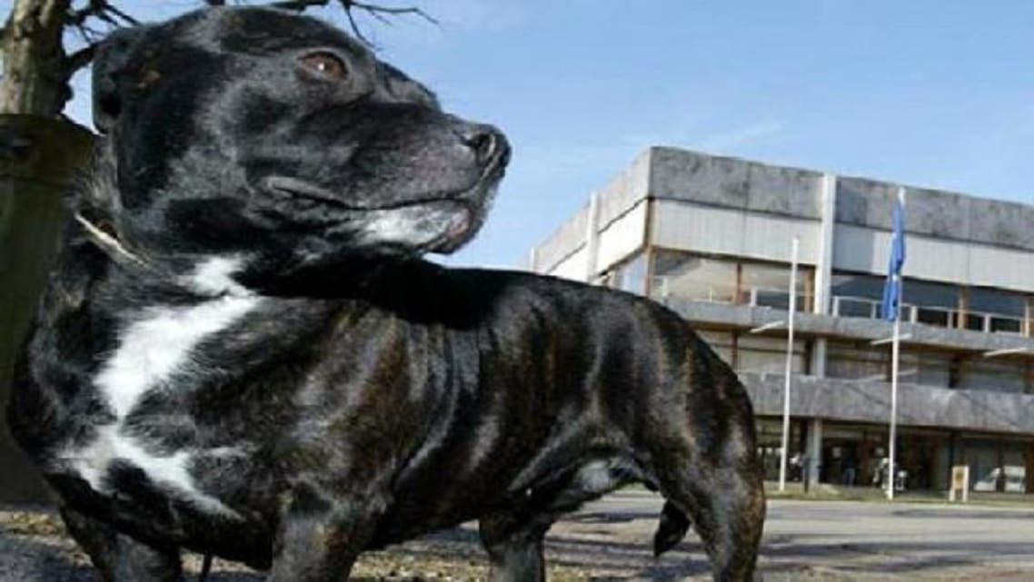 """A new law in Morocco aims to  """"protect people against the danger of dogs,"""" like this Staffordshire terrier. (Reuters)"""