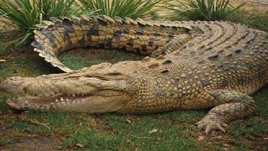حادث ارتطام بين رجل وتمساح بأستراليا