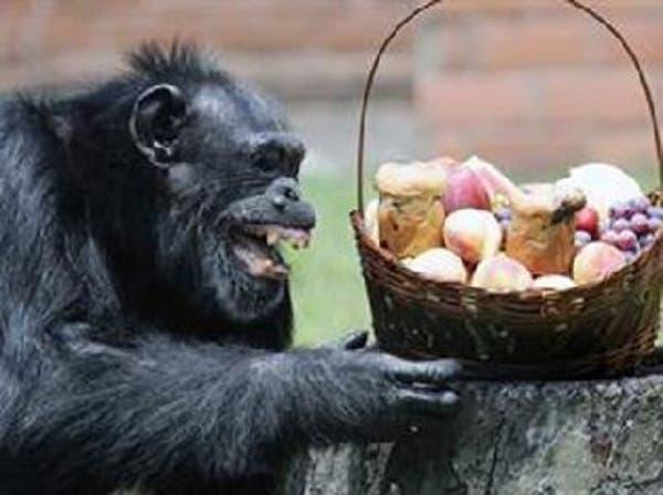 الشمبانزي لديه قدرات عقلية تمكنه من الطهي