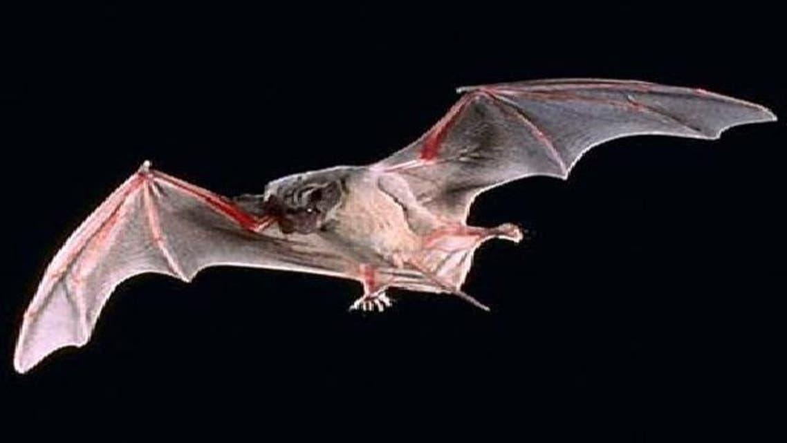 الخفافيش مصدر العدوى بفيروس كرونا القاتل