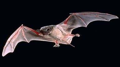 الخفافيش مجدداً.. 6 أنواع جديدة من عائلة كورونا