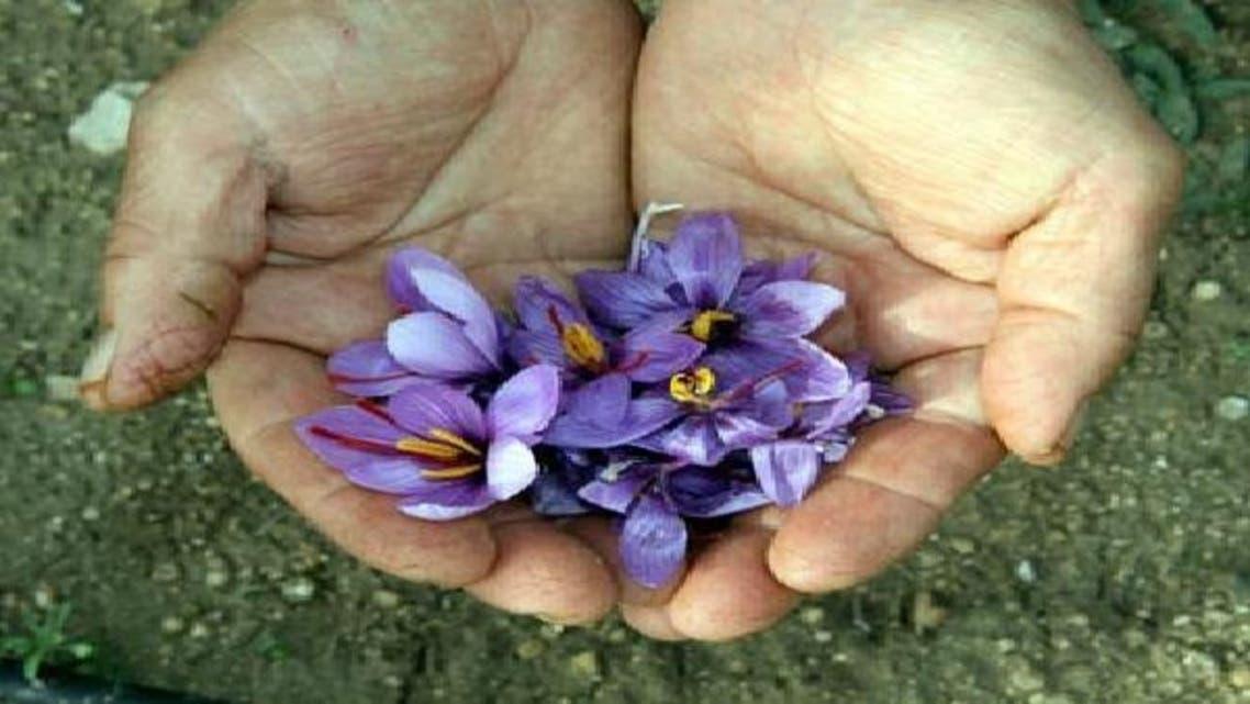 إنتاج نصف كيلو زعفران يحتاج إلى نحو 80 ألف زهرة