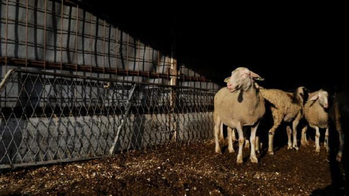 The price of one kilogram of sheep in Gaza is around $8. (AFP)