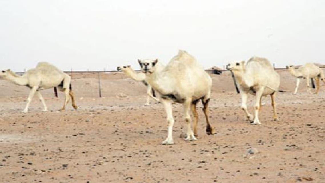 المشاركة بلحم الإبل والبقر هرباً من غلاء أسعار الخراف