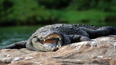 امرأة سمينة تقع على تمساح وتصيبه بجروح خطرة