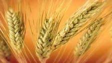 مصر ترفع السعر الذي تدفعه لمزارعي القمح المحليين