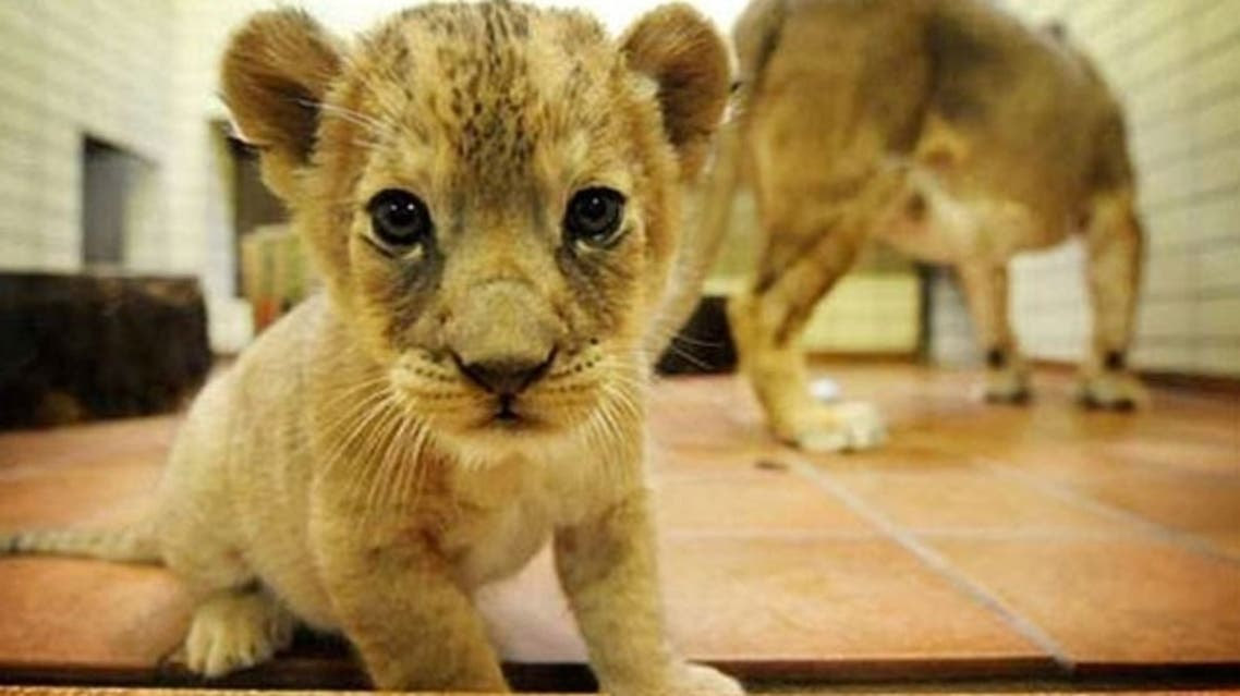 In the rich Gulf states of Saudi Arabia, UAE and Qatar, endangered animals like lions, cheetahs, hyenas and monkeys are sometimes found in in the private collection of wealthy individuals and families as status symbols. (AFP)