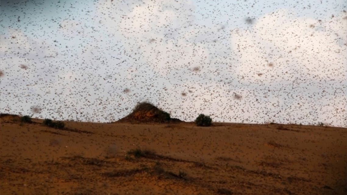 Egypt says at least 30 million locusts invaded the country from Sudan. (Reuters)