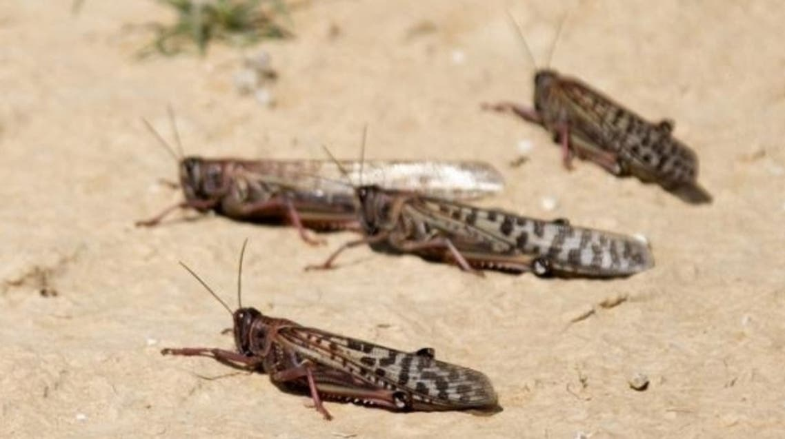جراد صحراوي