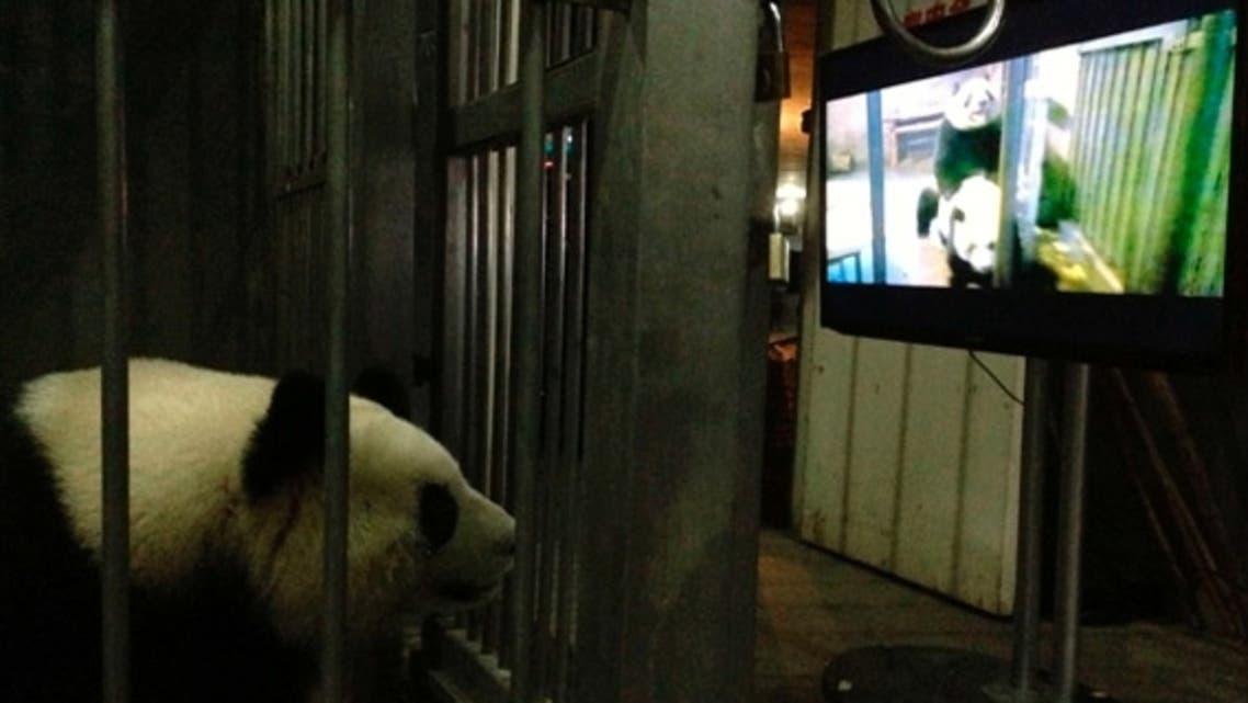 تشجيع الباندا على التزاوج