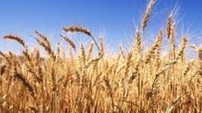 مصر اشترت 3 ملايين طن من القمح محلياً