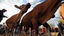 Australia halts cattle exports to Egypt