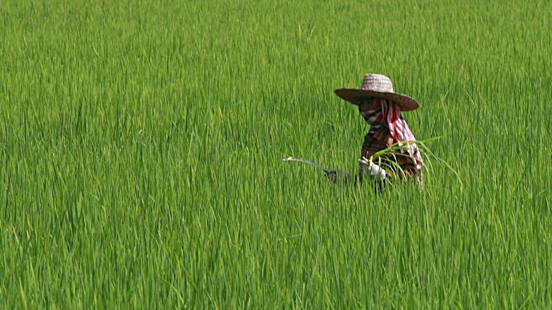 A Thai farmer cuts grass at her rice field. Iraq has purchased 150,000 tonnes of rice from Thailand. (File photo: AP)