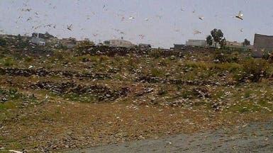سرب من الجراد يجتاح مناطق جنوب السعودية