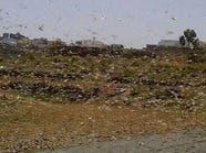 """موجة """"جراد"""" تجتاح اليمن والأمم المتحدة تحذر"""
