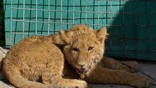 The $20,000 pet lion that lives on a Kabul rooftop