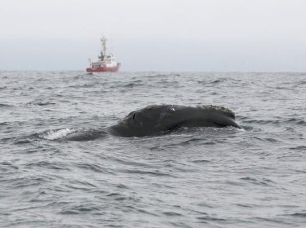 رصد حوت أسود قبالة سواحل كندا للمرة الأولى منذ 60 سنة