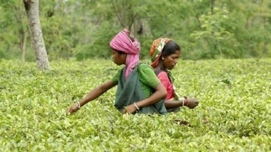 Tea garden workers pluck tea leaves at the Durgabari tea garden estate on the outskirts of Agartala in this May 21, 2007 file photo. (Reuters)