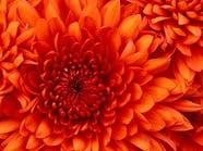 أمير تبوك يفتتح مهرجان الورود الأربعاء المقبل