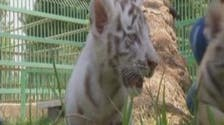 Rare white tiger born in Baghdad zoo makes its first appearance