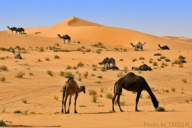 Dr Ulrich Wernery, a veterinary microbiologist in Dubai and head of the emirate's Central Veterinary Research Laboratory, said many camels have died due to the ingestion of plastic that has amassed over time in their digestive tracts.(Stock photo)