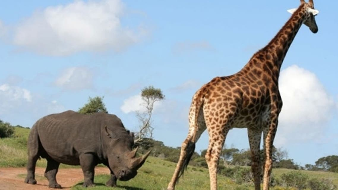 Giraffes, rhinos, elephants and deer in Egypt are 'contemplating suicide.' (File photo courtesy: perfectafrica.com)