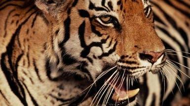 نمر يقتل حارسه في حديقة حيوان ألمانية