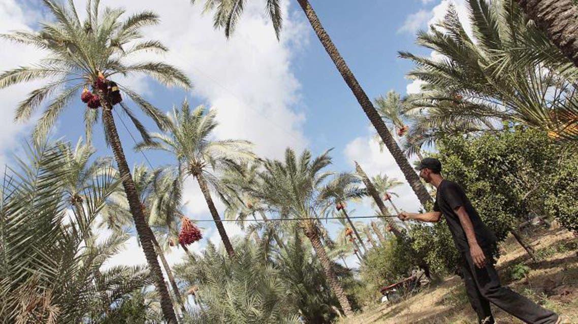 Date picking in Palestine