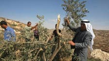Palestinians: settlers destroyed more than 100 olive trees