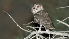 Heads turn at new owl species discovered in Oman