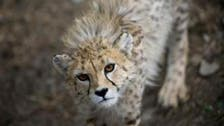 Iranian cheetah sighting gives hope to conservation efforts