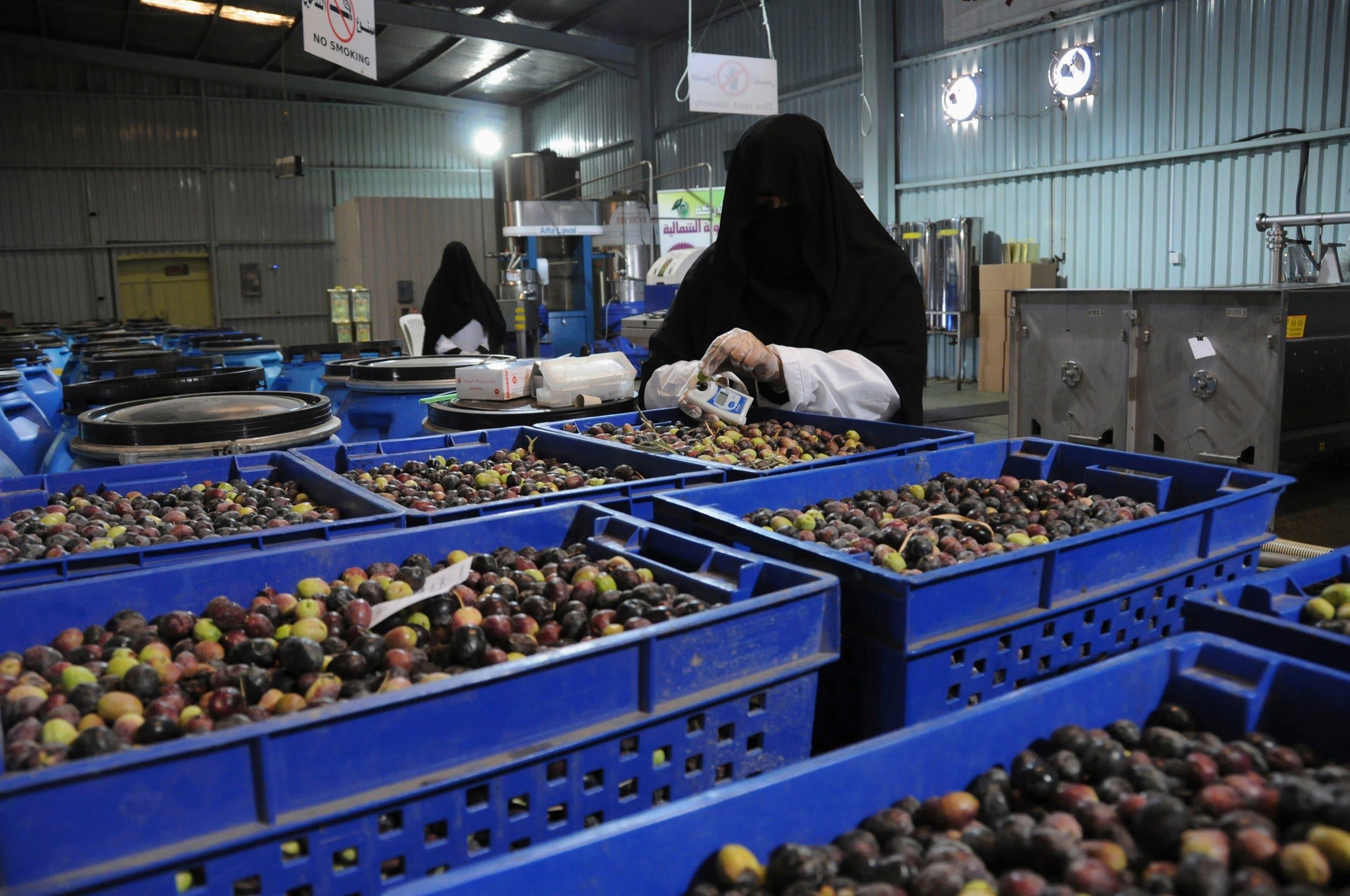 Olive harvest in Saudi Arabia