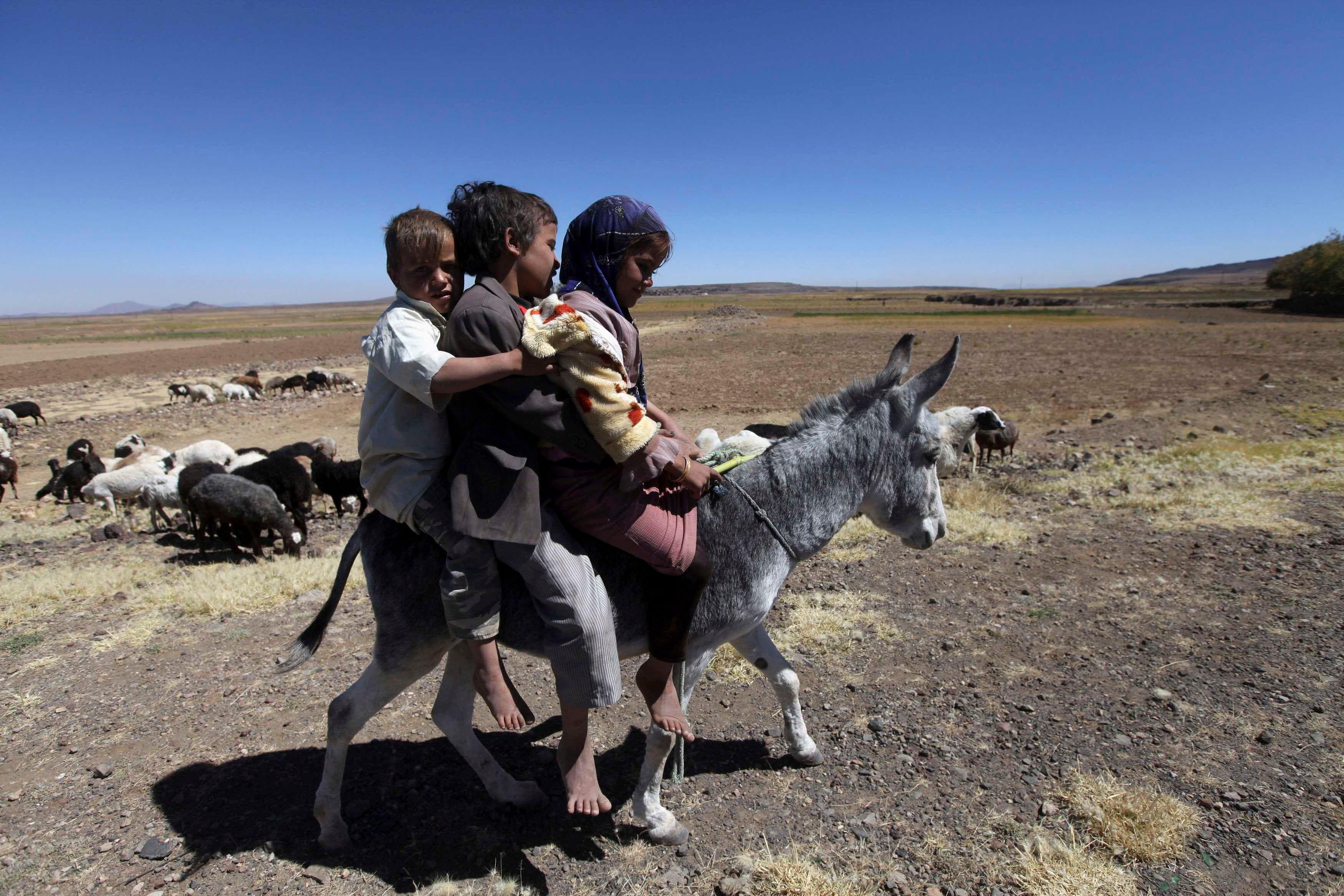 Harvest season in Yemen