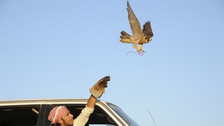 A costly falcon is always welcome: prized bird sells for $27,500 in Qatar