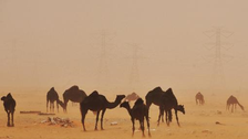 Saudi says first camel tests positive for MERS virus