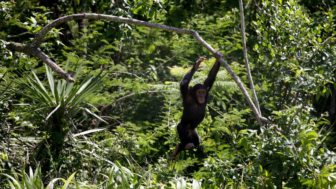 chimp reuters