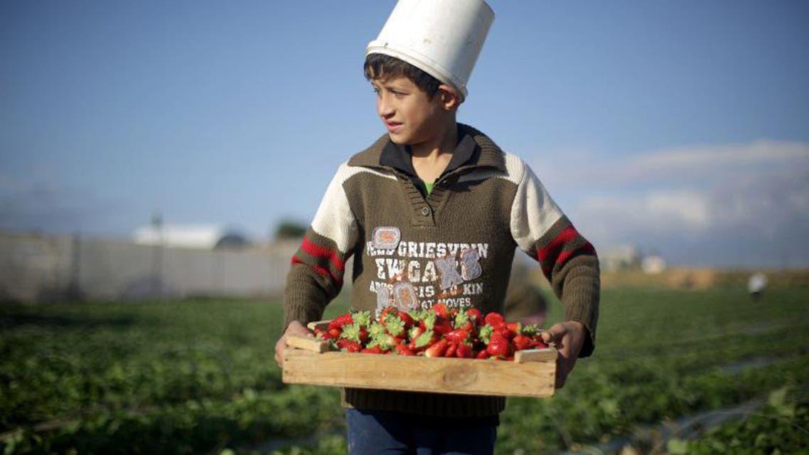 Strawberry picking in Gaza