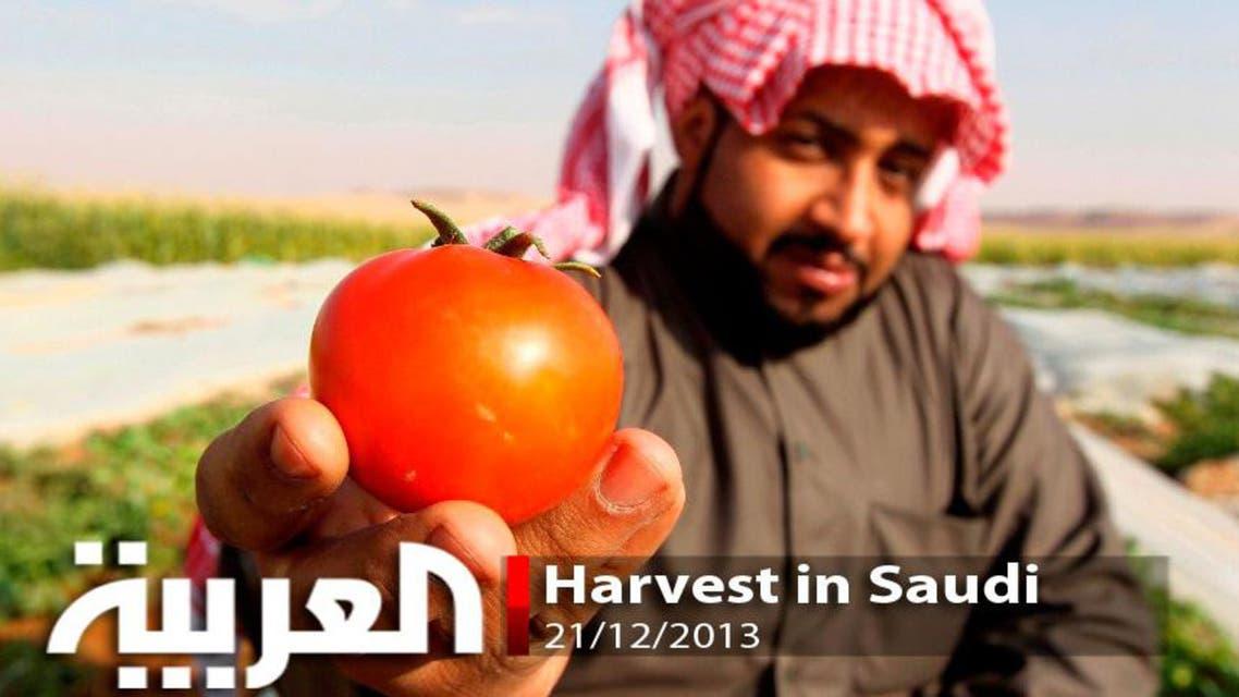 Harvest in Saudi