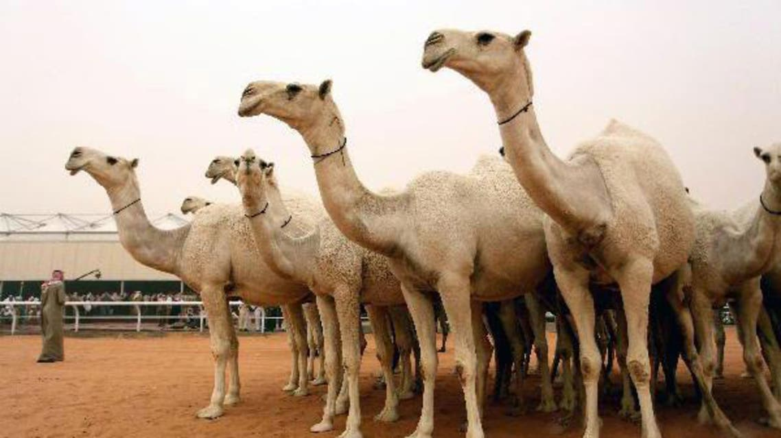 Picture courtesy www.news.cn camels