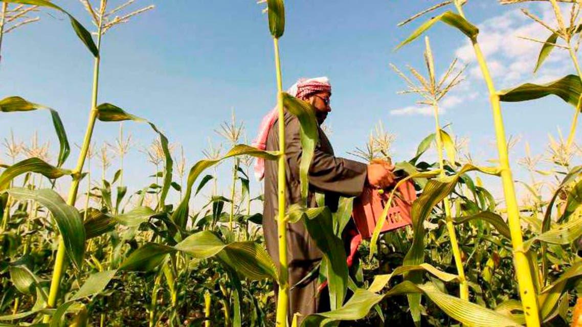 الزراعة في السعودية - مزارع سعودي يجمع محصول ذرة في الخرج غرب الرياض